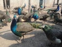 孔雀养殖场的建设