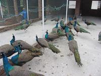 孔雀的卫生防疫