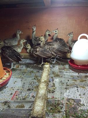 孔雀养殖技术所需要的必备条件
